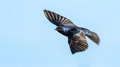 Purple Martin (Gary R Rogers) Tags: oregon flight bird purplemartin