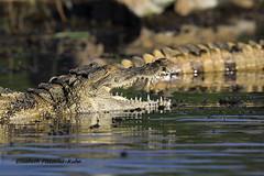 4J7A2105_Crocodile (Puce55-Elisabeth,) Tags: kenya lac baringo crocodile animal wildlife