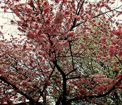 Happy Cherry Blossoms (Lynn English) Tags: blossoms tree front pink happy springribbet