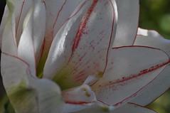Amaryllis (Vinylone AFS-UTS) Tags: amaryllis flower closeup macro macrrolensing fun nature beautyful colorfull