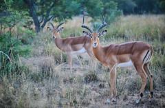 1 (Andre B Liebenberg) Tags: impala rams africa wildlife photography fuji fujinon xt3 50140 mirrorless revolution agri pics agripics conservation southafrica grasslands savanna bush veld photo safari