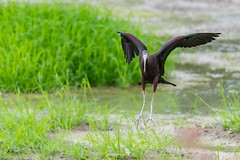 _5ND8048_LR_LOGO (Ray 'Wolverine' Li) Tags: hongkong bird birding birdwatch asia nature wildlife plegadisfalcinellus threskiornithidae pelecaniformes plegadis brauner sichler ibis
