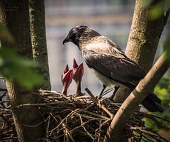Crow in the fog feeding the boys (Frank Hellmiß2010) Tags: sony ilce7rm2 fe 24240mm f3563 oss nest nebelkrähe berlin berlinmitte vogel