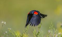 Rush out! (hyu767) Tags: redwingedblackbird blackbird