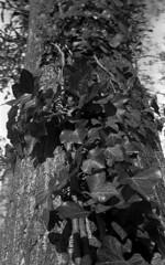 .: Lierre :. (K-Photographe) Tags: noiretblanc blackandwhite ilford hp5 35mm olympus d76
