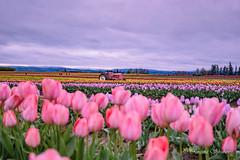 IMG_7332 (RegiShu) Tags: bloom flower flowers oregon spring tulip tulips us usa woodburn woodenshoetulipfarm unitedstatesofamerica
