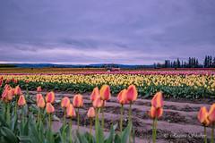 IMG_7329 (RegiShu) Tags: bloom flower flowers oregon spring tulip tulips us usa woodburn woodenshoetulipfarm unitedstatesofamerica