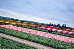 IMG_7327 (RegiShu) Tags: bloom flower flowers oregon spring tulip tulips us usa woodburn woodenshoetulipfarm unitedstatesofamerica