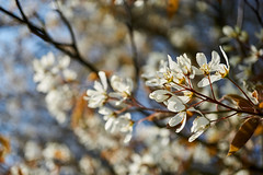 spring (Jos Mecklenfeld) Tags: spring frühling lente nature natur natuur sonya6000 sonyilce6000 sonye30mmf35macro sel30m35 westerwolde niederlande nederland blossom blühen flowers blumen bloemen terapel groningen netherlands