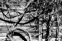 BW_wilder_wein (SvenvB) Tags: blackandwhite outdoor wood old