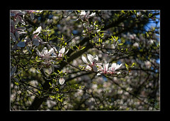 Magnolienblüten (Pippilotta aus dem Tal) Tags: sel90m28g