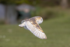 IMG_8107 (fletchlewista2) Tags: owl bird raptor monmouth wildlife wales canon sigma