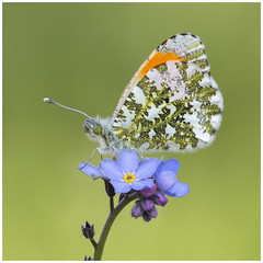 Orange Tip (nigel kiteley2011) Tags: orangetip anthochariscardamines butterfly butterfrlies insects macro lepidoptera canon 5dmk3 canoneos5dmk3 nature
