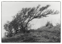 Tree on the west coast of Denmark (K.Pihl) Tags: olympusom1 softened tree landscape hc110b print nature monochrome blackwhite pellicolaanalogica schwarzweiss bw analog film darkroom yellowfilter