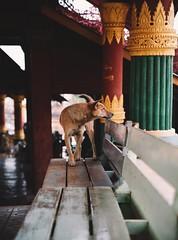 Streets of Myanmar (desomnis) Tags: myanmar burma asia southeastasia dog streetphotography tamron2470mmf28 tamron2470 tamron canon5dmarkiv 5d canon desomnis shanstate pagoda traveling travel street animal