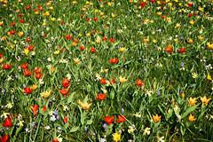 spring (Jos Mecklenfeld) Tags: sonya6000 sonyilce6000 sony30mmf35macro sel30m35 westerwolde niederlande nederland flowers blumen bloemen tulips tulpen colors farben kleuren terapel groningen netherlands