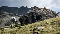 val di solda, yak (violica) Tags: italia italy trentinoaltoadige altoadige southtyrol südtirol solda sulden valdisolda suldental alpi alps