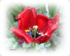 ♫❀> Enjoy Your Easter Time !! <❀♫ (ljucsu) Tags: flower macro flowermacro plant outdoor closeup spring springflowers april aprilflowers tulip red redflowers redtulip photoscape gardenflower ngc npc