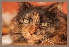 DSC04670 Easy Portrait (Olpo2vin) Tags: cat chat yeux eyes regard look félin feline olpo easy poils fourrure redessan 30129 animaldecompagnie vibrisses