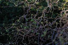 Nature (Photo Alan) Tags: nature tree trees vancouver canada spring springseason