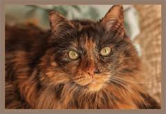 DSC04678 Easy Portrait (Olpo2vin) Tags: cat chat yeux eyes regard look félin feline olpo easy poils fourrure redessan 30129 animaldecompagnie vibrisses