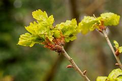 Tree Buds-F4160712-Edit (tony.rummery) Tags: buds closeup epm1 mft macro microfourthirds nature olympus pen puttenham guildford england unitedkingdom