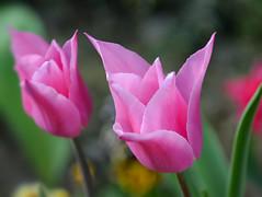 Simple but beautiful 🌷 (Gwenael B) Tags: tulip tulipe fleur rose printemps spring nature macro nikond5200 tamron16300mm petales