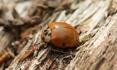 8694 Harmonia axyridis (jon. moore) Tags: buckinghamshire blackparkcountrypark harmoniaaxyridis harlequinladybird coleoptera coccinellidae