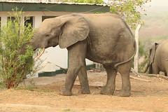 Savanna elephant, Mole Motel, Mole National Park, Ghana (inyathi) Tags: africa westafrica ghana africananimals africanwildlife africanelephants savannaelephants elephants loxodontaafricana molemotel molenationalpark