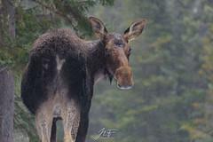 Sous la pluie (jlf_photo) Tags: moose orignal rain pluie animal mammifère wildlife faune sauvage wild quebec canada