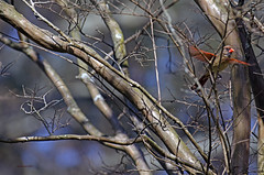 Female Cardinal flight out of the woods.. (mark owens2009) Tags: femalecardinal flight cardinal cardinalflight