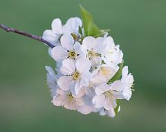 Cherry Blossoms (Cheryl3001) Tags: cherry blossom blossoms flower spring white fujifilm xt2 50140mm
