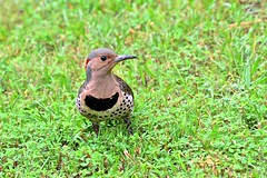 Yellow-shafted Northern Flicker (deanrr) Tags: woodpecker flicker yellowshaftednorthernflicker morgancountyalabama alabama nature outdoor 2019 spring female bird feathers grass ground spots