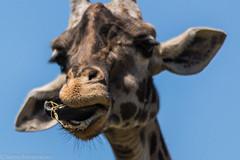 SafariWest-_DSC1481 (Vamsi K) Tags: california nature safari wildlife google santarosa ca usa