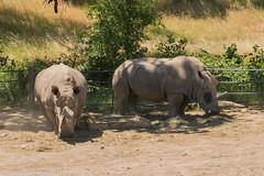 SafariWest-_DSC1505 (Vamsi K) Tags: california nature safari wildlife google santarosa ca usa