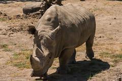 SafariWest-_DSC1510 (Vamsi K) Tags: california nature safari wildlife google santarosa ca usa