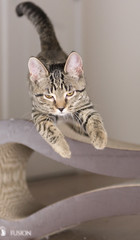 Determined (scattered1) Tags: young paw active focused face pet leg cat whisker feline intense lucy kitten play jump determined