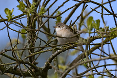 Lessser Whitethroat 2019-05-11_02 (Eva Landgren) Tags: bird birds fåglar fågel fauna djur aves animal animals avifauna wildlife wetland wetlands natur nature nikond500 nikon tamron tamron150600mm outdoor outdoors sweden sverige halland trönningeängar ärtsångare sångare sylvia lesserwhitethroat sylviacurruca warbler warblers