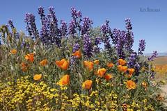 superbloom 2019-2 (wandering tattler) Tags: wildflower flower bloom landscape color orange blossom poppy california antelopevalley 2019