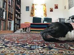 Bonnie snoozing on the rug (C-Monster) Tags: bonnie dog perro chien pitbull staffy amstaff snoozing