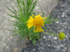 Tiny Yellow Flower. (dccradio) Tags: lumberton nc northcarolina robesoncounty outdoor outdoors outside pavement paved street curb cement concrete greenery weed weeds plant asteraceae may saturday morning goodmorning saturdaymorning weekend canon powershot a3400is flower floral flowers yellow yellowflower yellowflowers bloom blooming inbloom blossom blossoming blossoms
