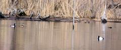 Scaup and Mallard Ducks (Roger Inman) Tags: heroncountypark vermilion county illinois animal bird duck scaup mallard