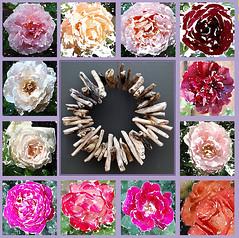 Kommt und sehet ihn erblassen (amras_de) Tags: rose rosen ruža rosa ruže rozo roos arrosa ruusut rós rózsa rože rozes rozen roser róza trandafir vrtnica rossläktet gül dornenkrone coronadespines trnovákoruna crownofthorns dornokrono coronadeespinas saintecouronne ancoróindeilgneach trnovakruna coronazionedispine doornenkroon koronacierniowa coroadeespinhos törnekrona karfreitag goeievrydag viernessanto velikipetak divendressant velkýpátek langfredag goodfriday grandavendredo suurreede ostiralsantu pitkäperjantai vendredisaint aoineanchéasta nagypéntek föstudagurinnlangi venerdìsanto diespassionisdomini karfreideg lielapiektdiena goedevrijdag wielkipiatek sextafeirasanta vinereamare velkýpiatok velikipetek långfredagen
