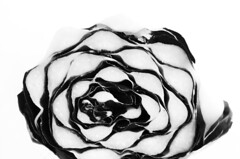 My Mother, the Artist (Rosmarie Voegtli) Tags: trevisano vegetable salad blackandwhite blackwhite mother odc ourdailychallenge abstract