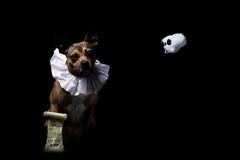 (16/52) Alas, poor Yorick! (Zach & Artsy) Tags: 52weeksfordogs shakespeare artsy pug pugratterrier