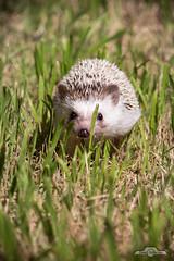 Paseo a Vinita (despiram) Tags: pets hedgehog