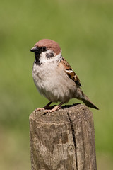 IMG_2080 (parttimedogfish) Tags: rspb blacktoft sands tree sparrow bird wildlife nature