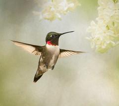 RubyThroated Hummingbird (Tracy Munson Photography) Tags: bayoffundy birding birdwatching canada hummingbirds maryspoint nature newbrunswick rubythroatedhummingbird spring wildbirds