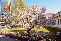 Ich wünsche allen Flickr Freunden u Kontakten Frohe Ostern (sabine1955) Tags: frühling magnolie baum tulpen bad rothenfelde tree spring