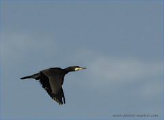 Grand Cormoran (kahem54) Tags: cormoran oiseau pecheur animal noir vol printemps ciel